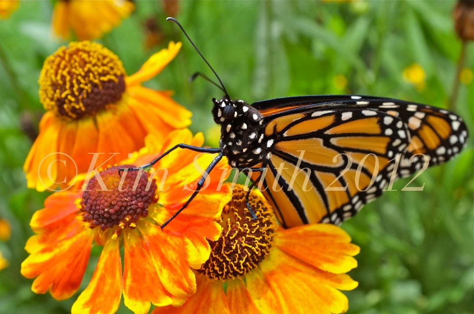 Monarch Butterfly Closeup Wildflower Hellenium -1 ©Kim Smith 2012