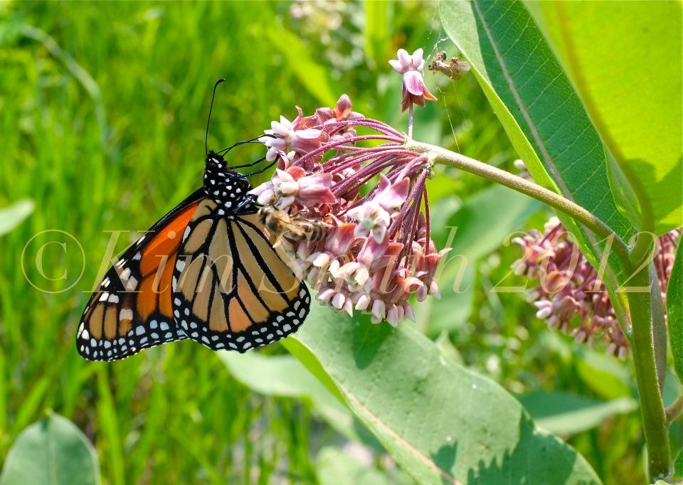 Monarch Butterfly Common Milkweed Asclepias syriaca Honey Bee©Kim Smith 2013