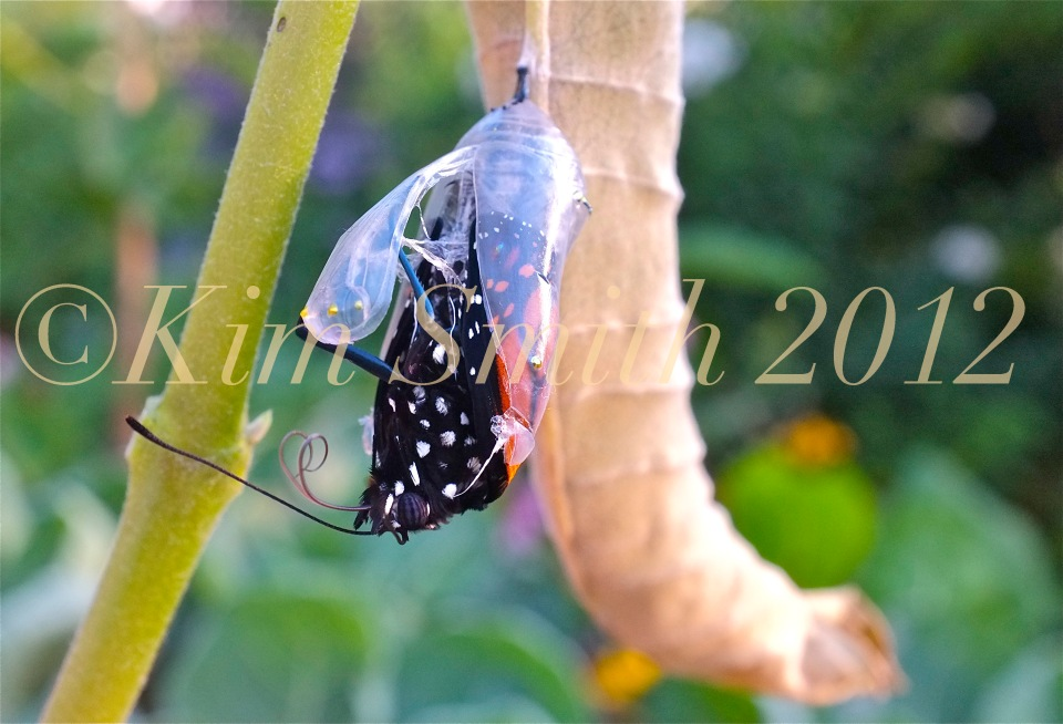 Monarch Butterfly Emergng from Chrysalis Proboscis Zipping -1 ©Kim Smith 2012