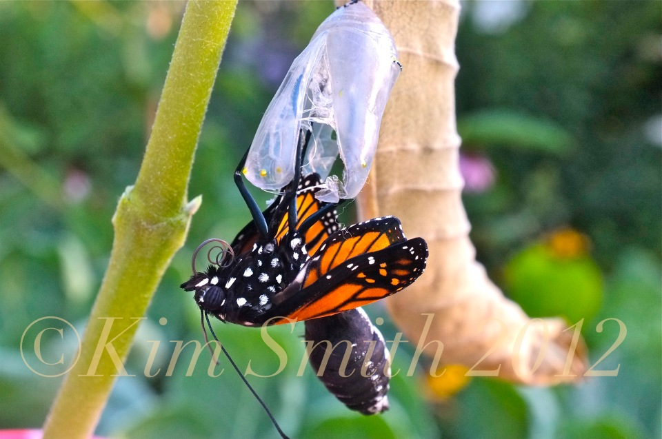 Monarch Butterfly Emergng from Chrysalis Proboscis Zipping -2 ©Kim Smith 2012