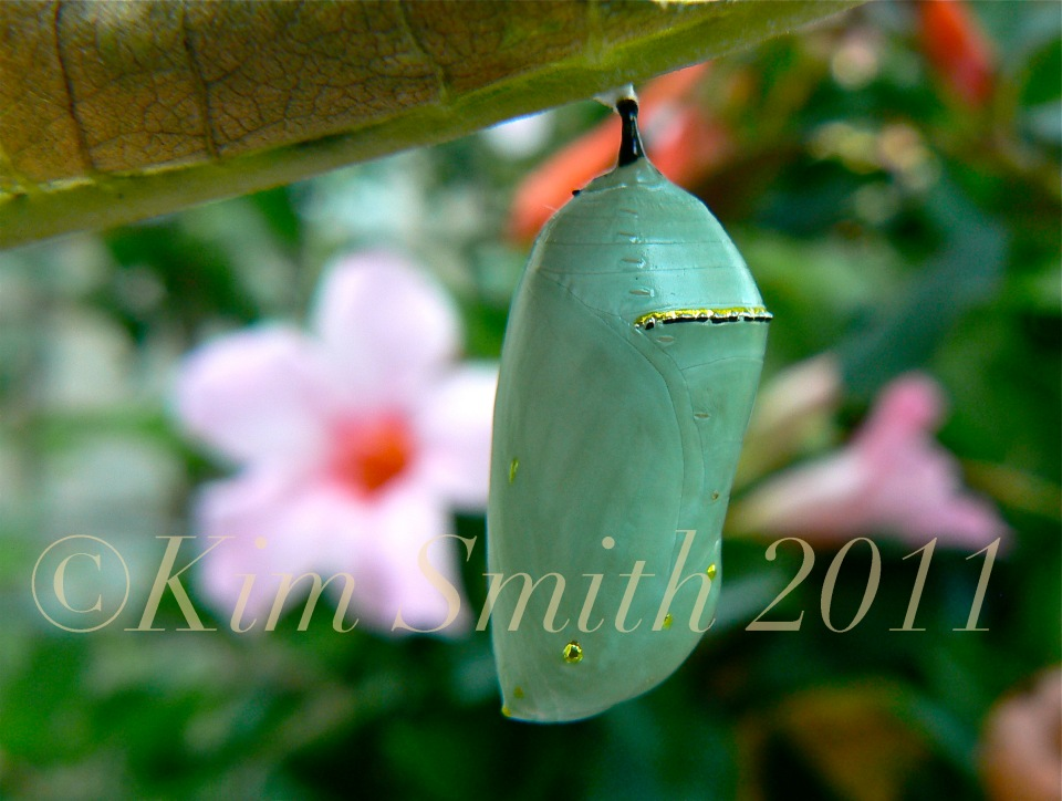 Monarch Butterfly Green Chrysalis Gold Dots ©Kim Smith 2012