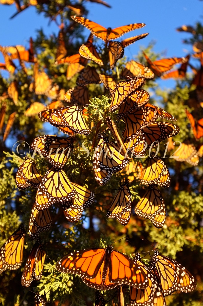 Monarch Butterfly Tree -1 Gloucester Massachusetts ©Kim Smith 2012