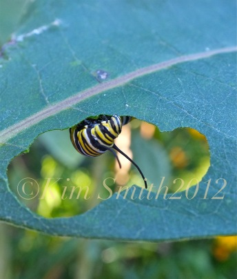 Monarch Caterpillar Common Milkweed ©Kim Smith 2012.J