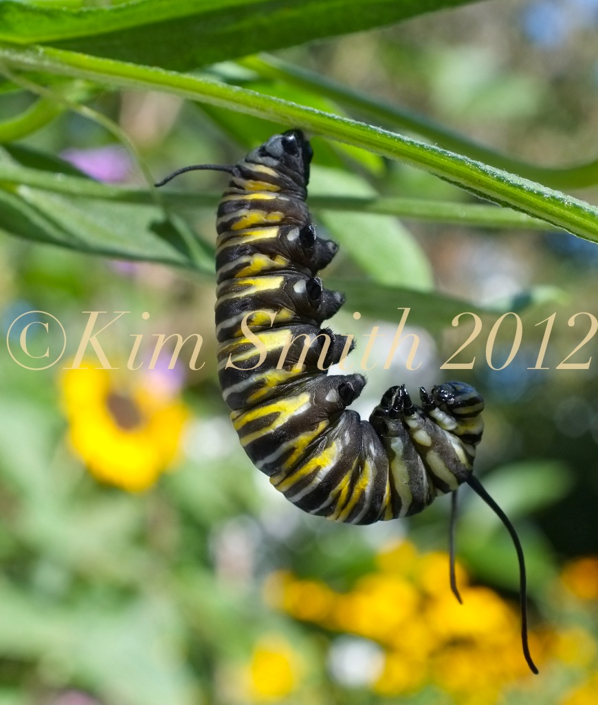 Monarch Caterpillar j-shape