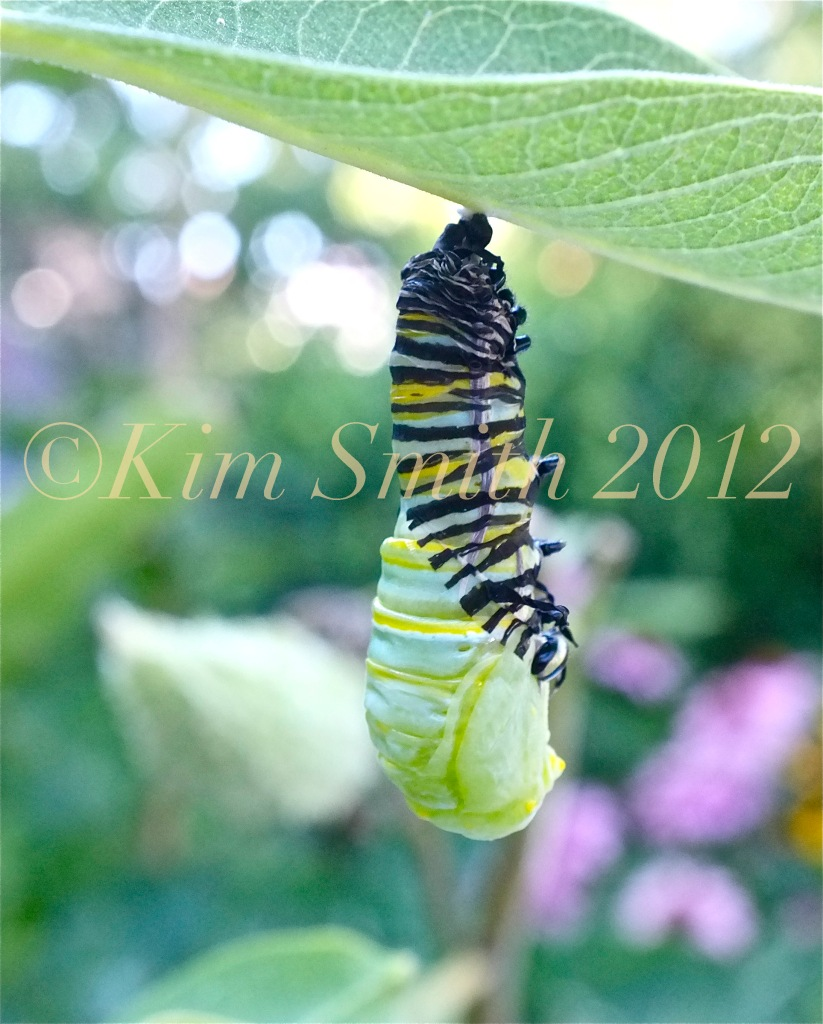 Monarch Caterpillar Pupating Shedding Skin --2 ©Kim Smith 2012