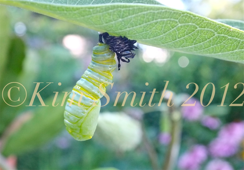 Monarch Caterpillar Pupating Shedding Skin Milkweed ©Kim Smith 2012