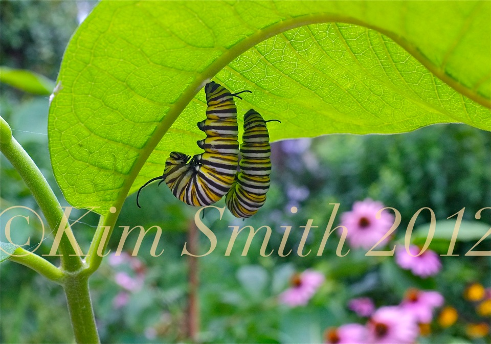 Monarch Caterpillar Twins J-shape Milkweed ©Kim Smith 2012