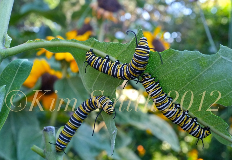 Monarch Caterpillars Milkweed -3 ©Kim Smith 2012.J