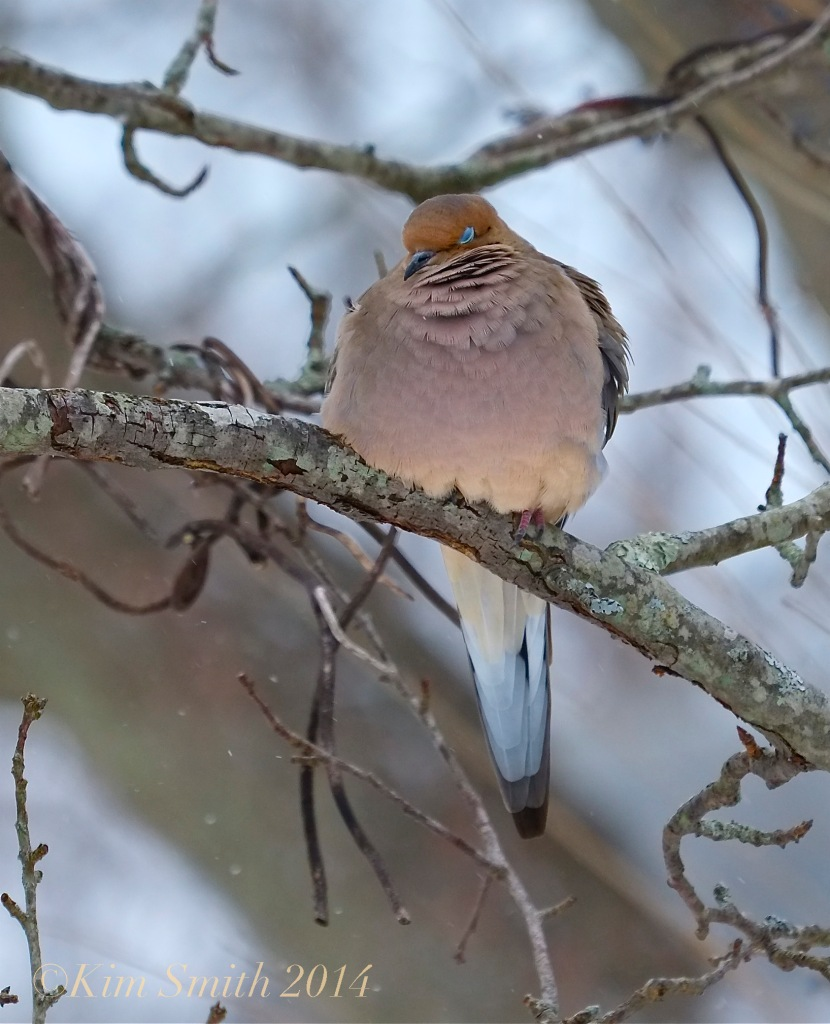 Mourning Dove puffed feathers ©Kim Smith 2014 copy