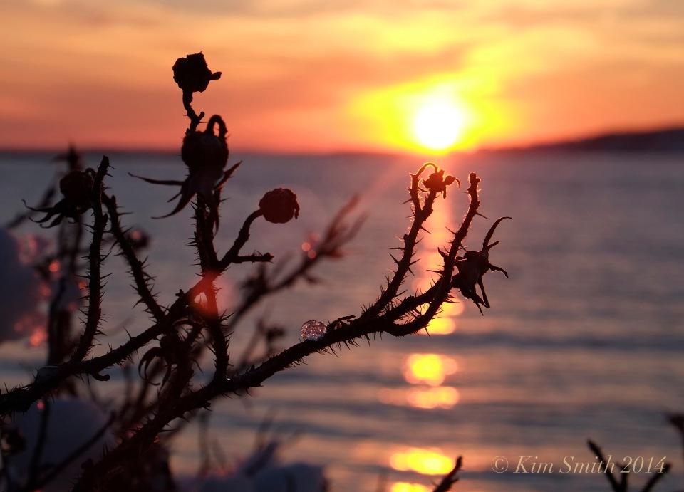 rosa-rugosa-raymonds-beach-c2a9kim-smith-2014