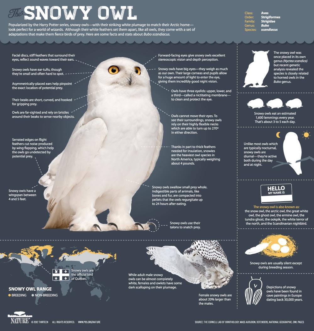 Snowy Owl Massachusetts | Kim Smith Designs