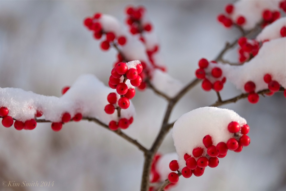 Winterberry Ilex verticillata © Kim Smith 2014
