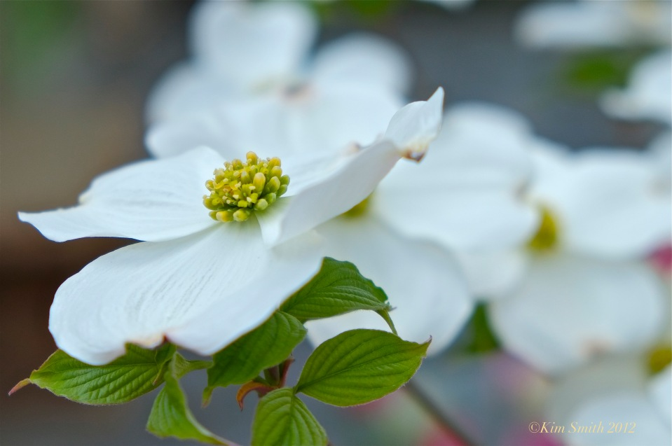 American Dogwood Cornus Florida © Kim Smith 2012