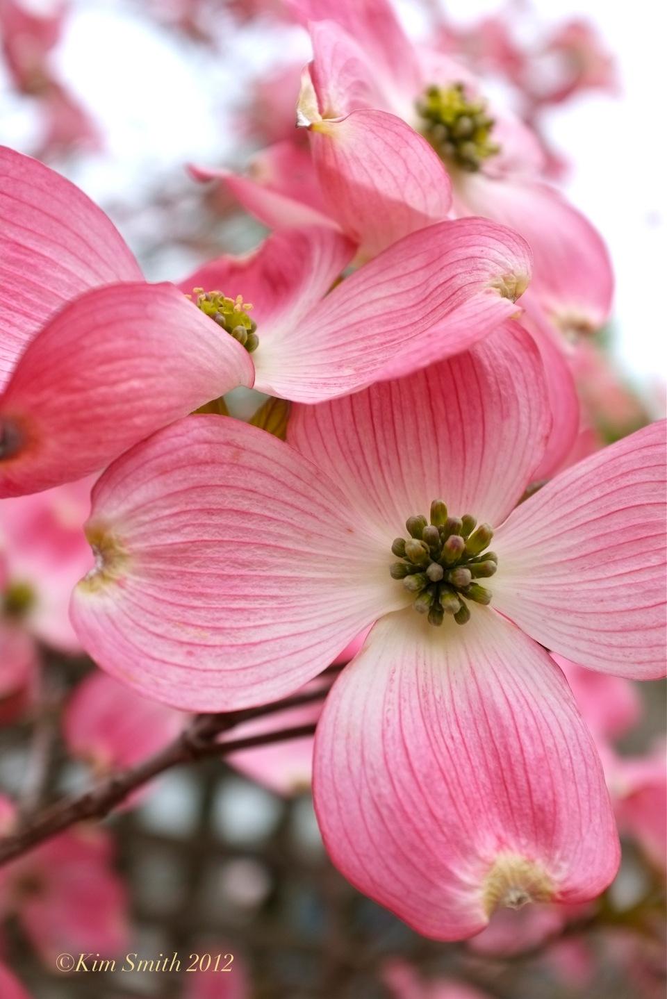 Cornus florida rubra @ Kim Smith 2012 copy