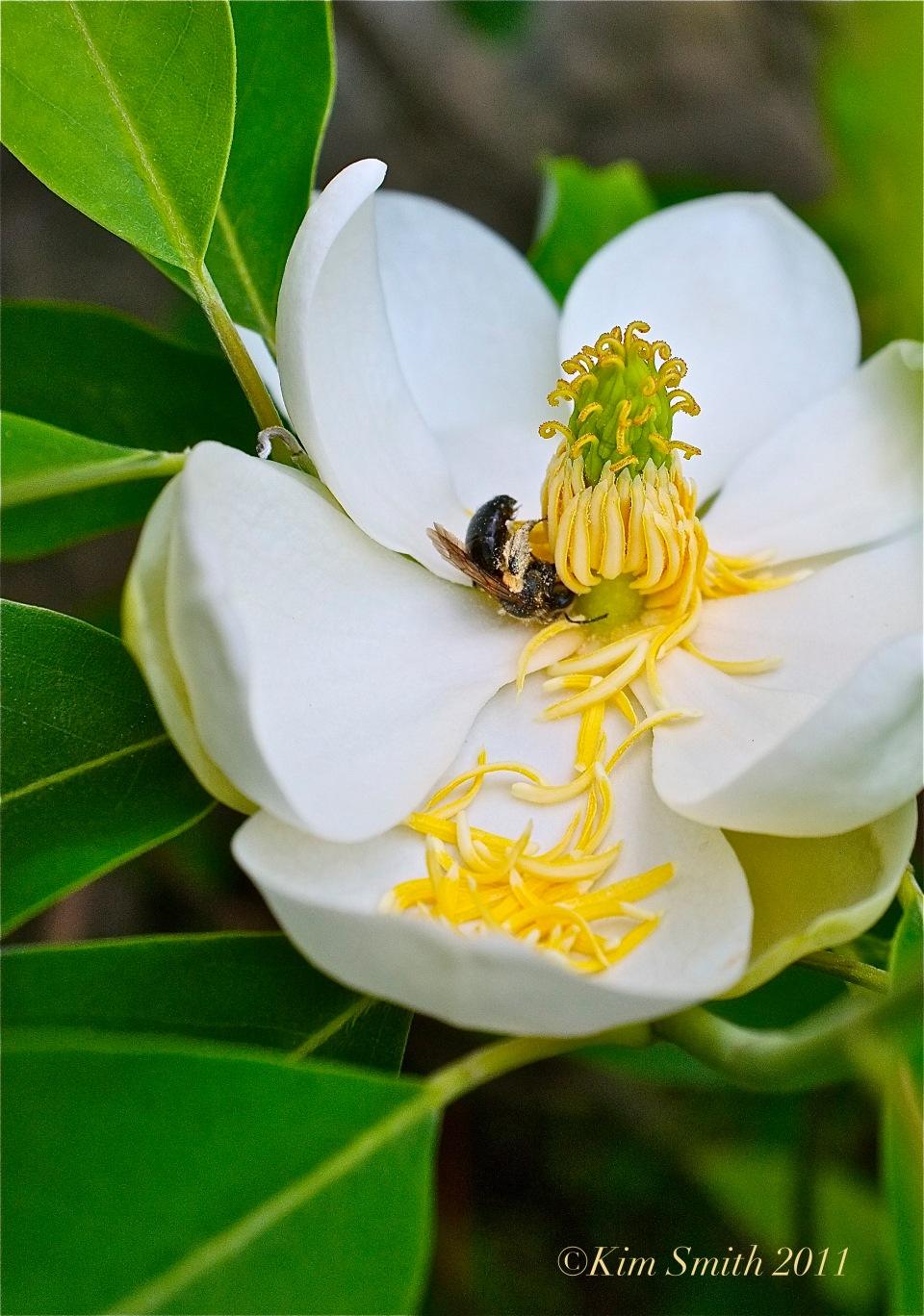 Magnolia virginiana ©Kim Smith 2011 copy