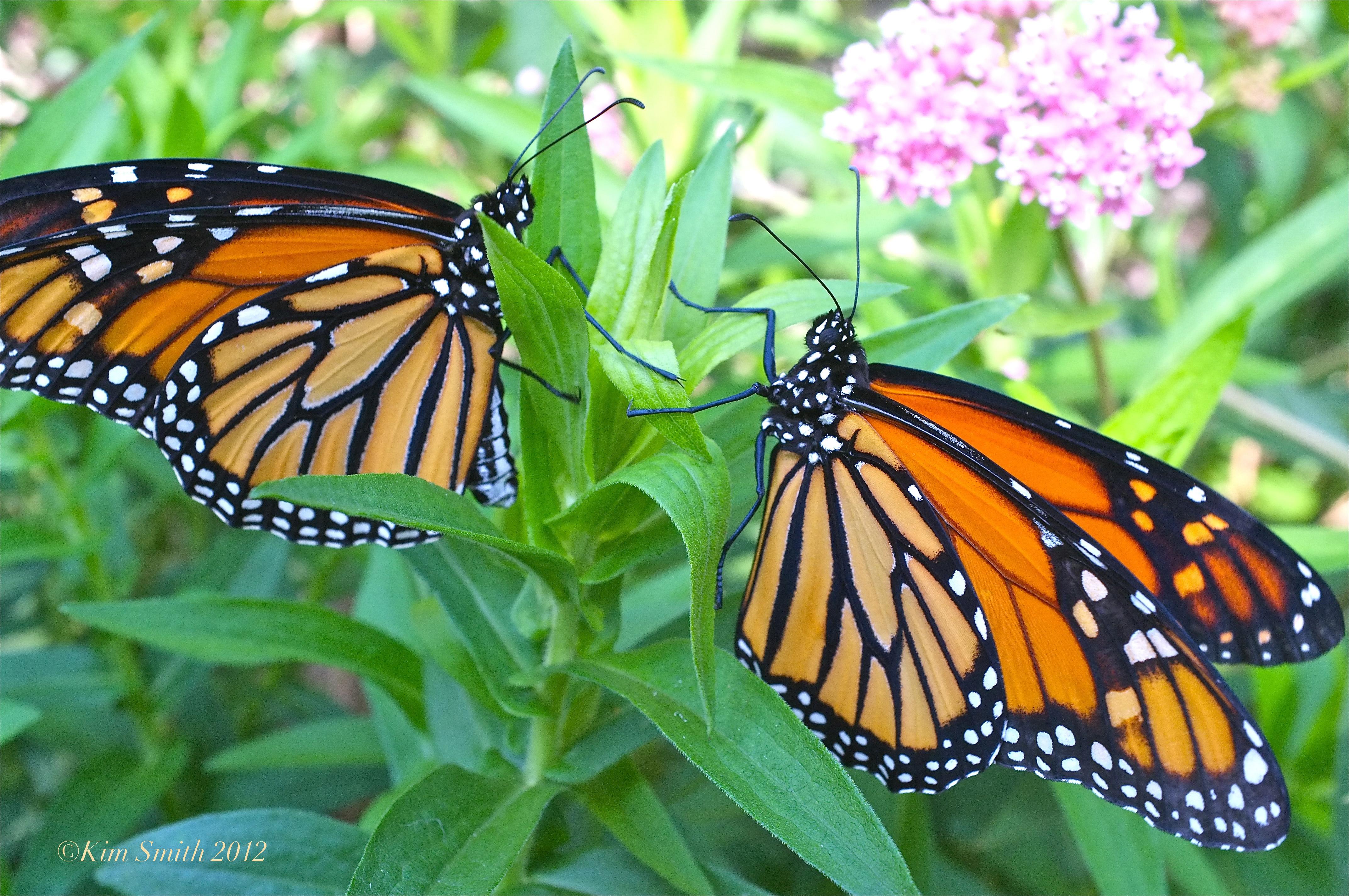 Male Female Monarch Butterfly Marsh Milkweed 2 C2a9kim