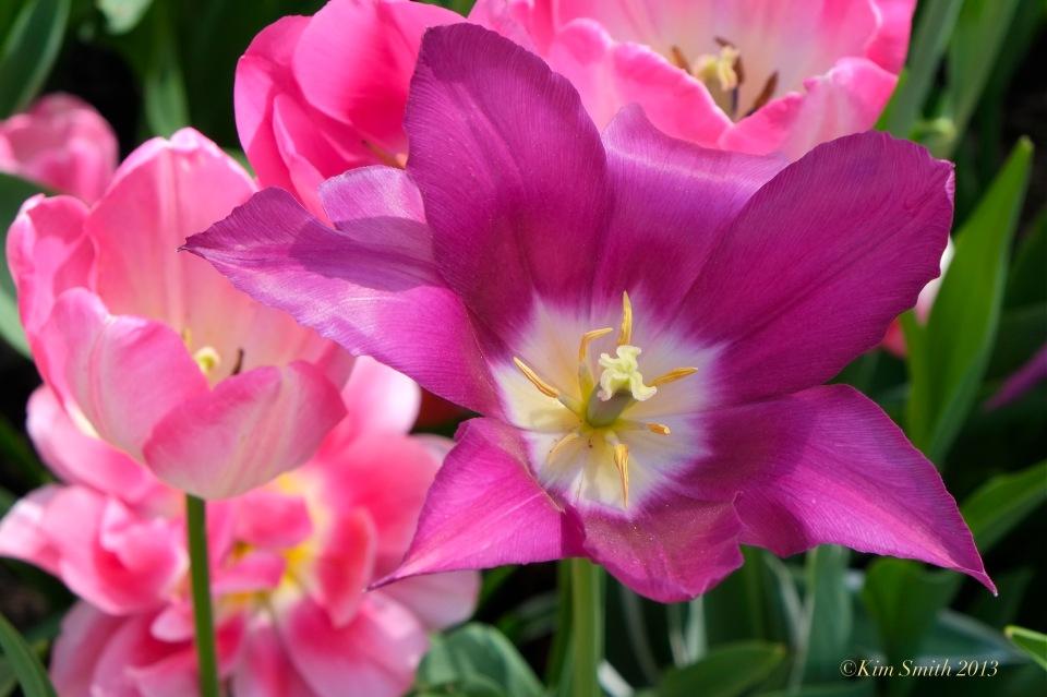 Purple Pink Tulips © Kim Smith 2013