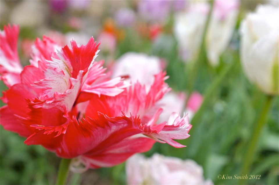 Red Tulip ©Kim Smith 2012