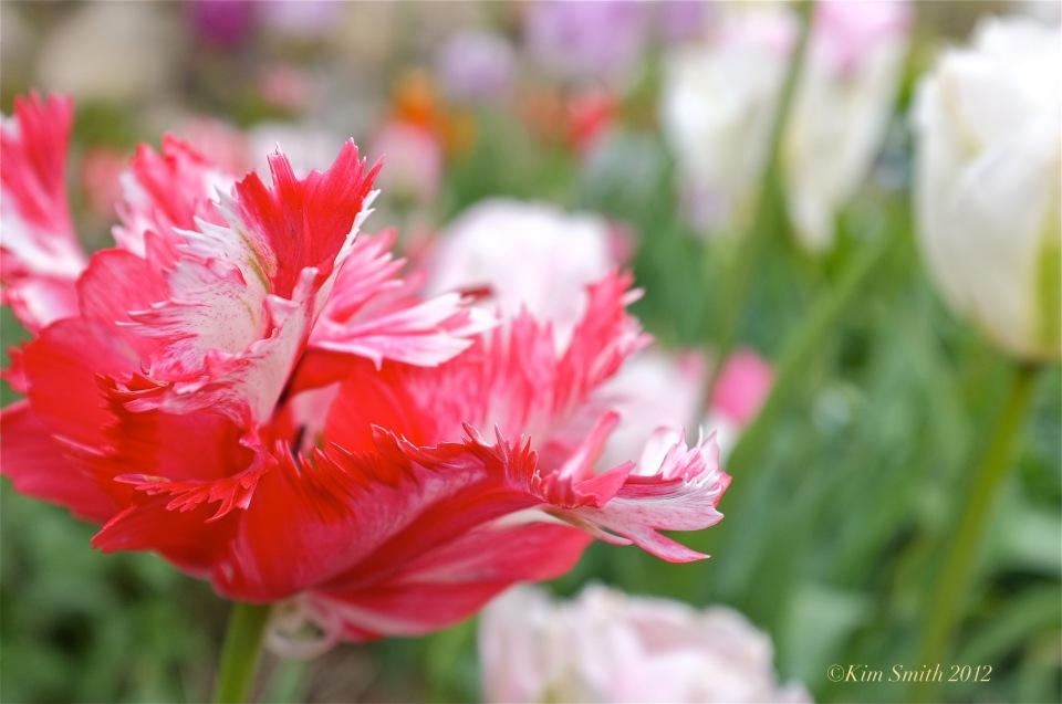 Red Tulip ©Kim Smith 2012