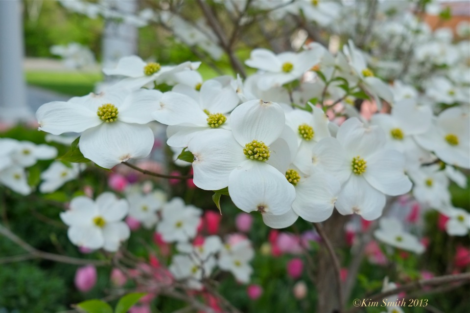 white dogwood cornus florida © Kim Smith 2013