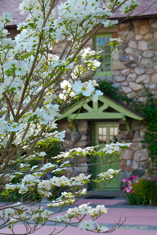 white dogwood cornus florida ©kim Smith 2013 copy