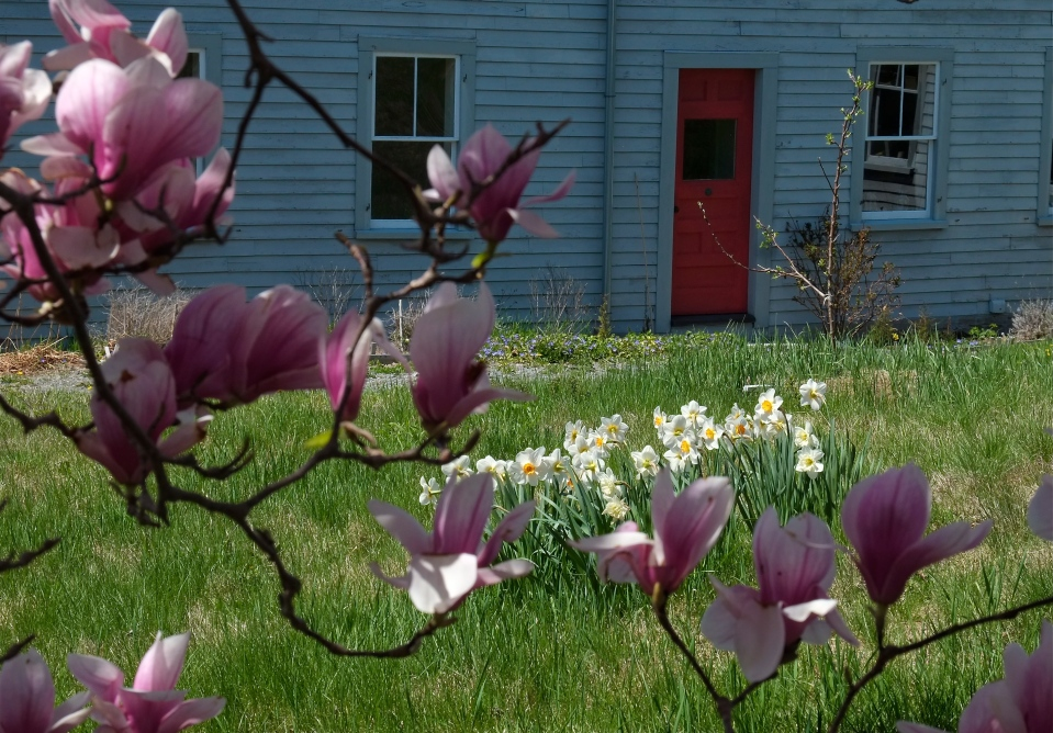 Magnolia Burnham Houes Essex MA ©Kim Smith 2014