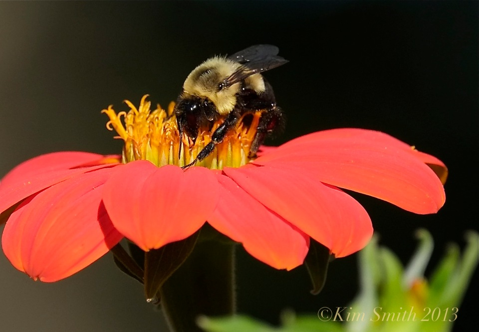 Mexican Sunflower © Kim Smith 2013