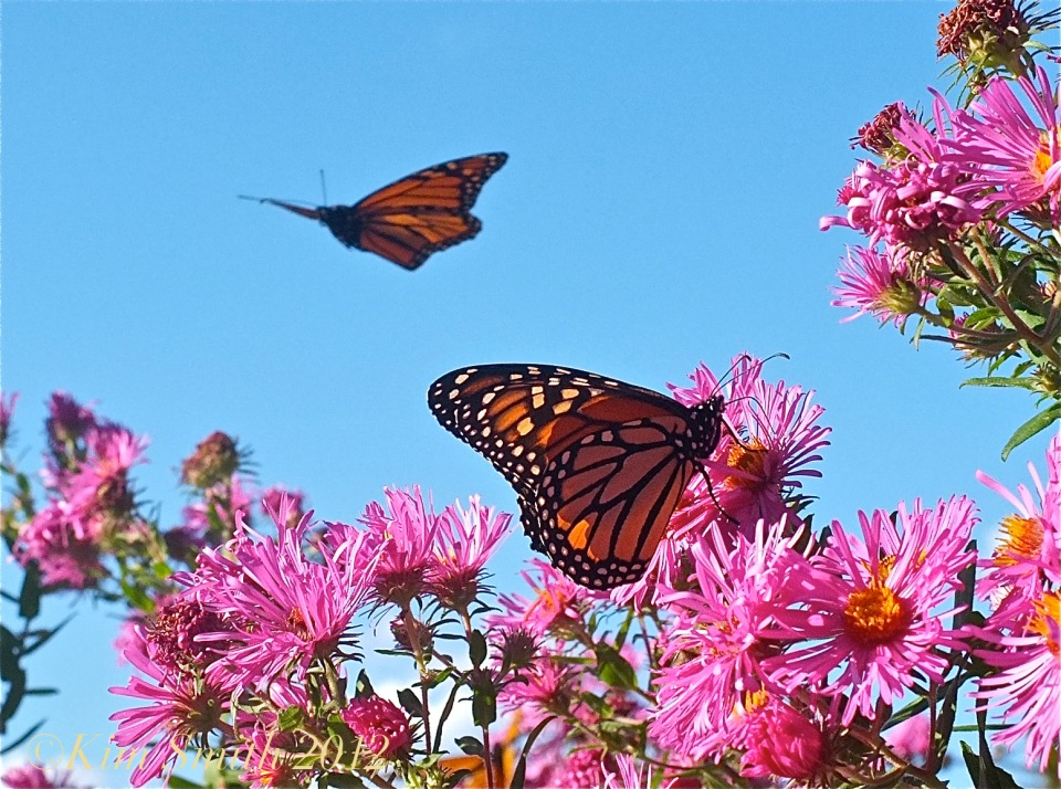 Monarch Butterflies Pink New England Aster ©Kim Smith 2012