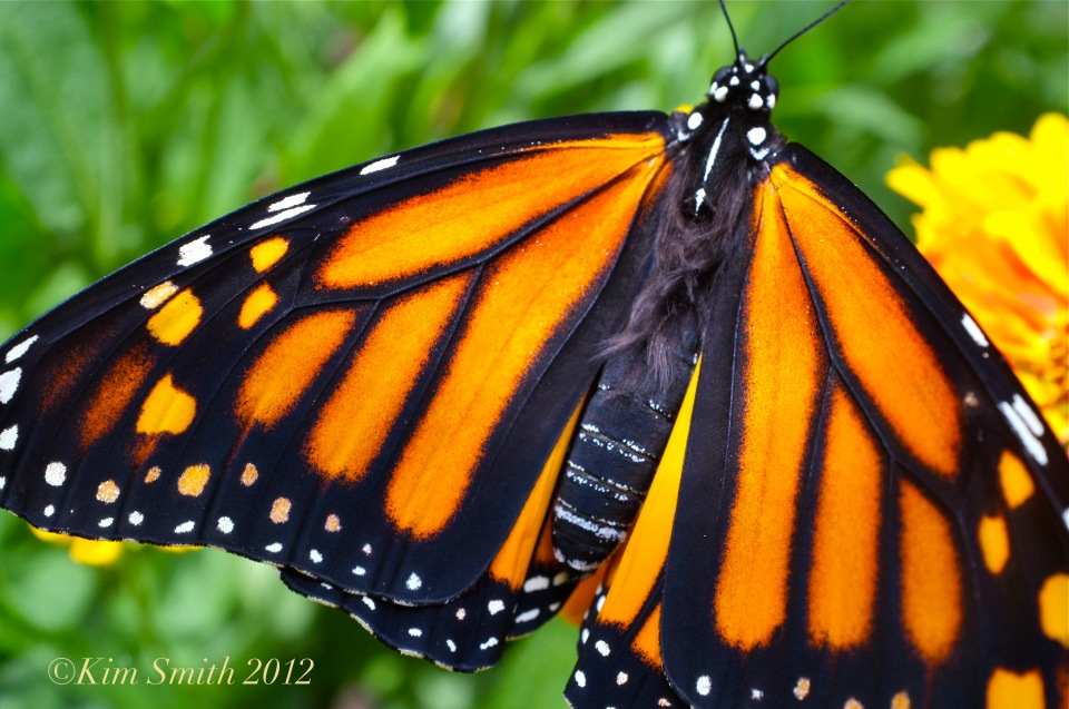 Monarch Butterfly fur ©Kim Smith 2012