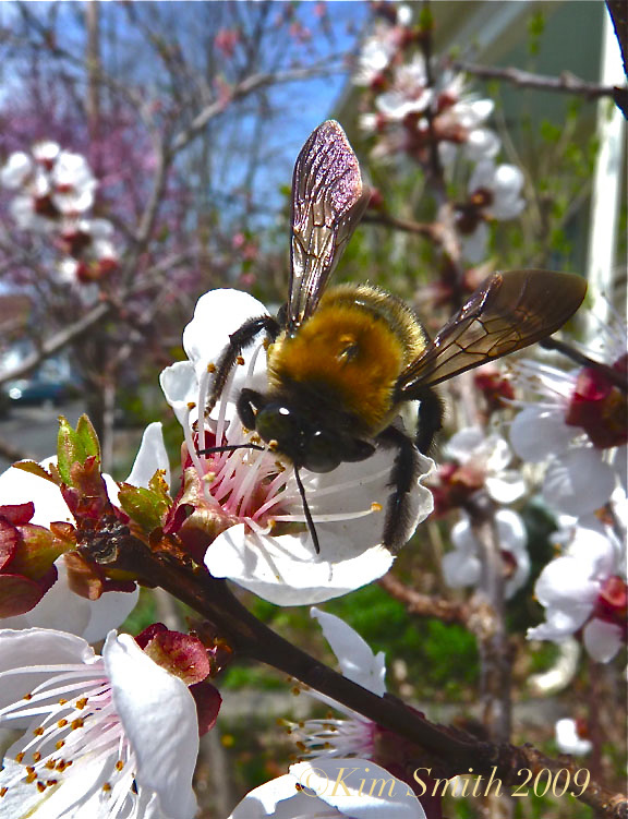 Native Bee Pollinating Apricot Tree ©Kim Smith 2009