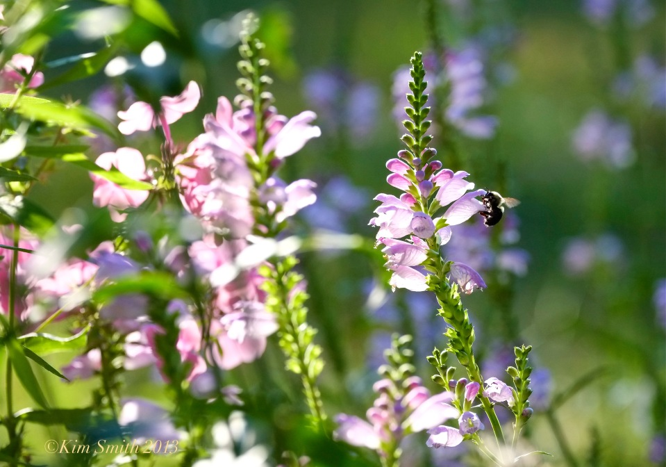 Obedient Plant and Bee Physostegia virginiana ©Kim Smith 2013