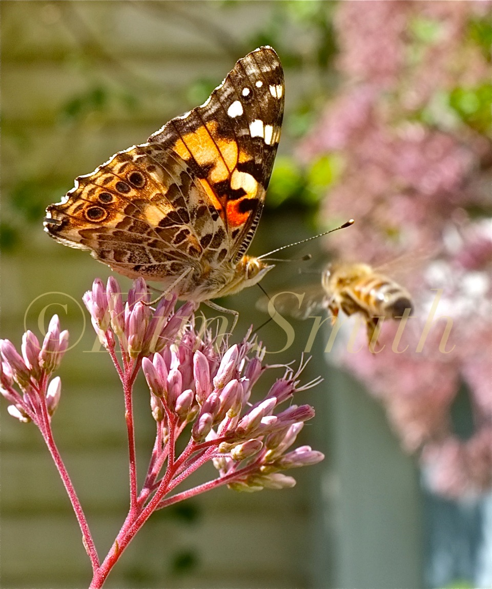 Painted Lady  Bee Eupatorium ©Kim Smith 2012.J