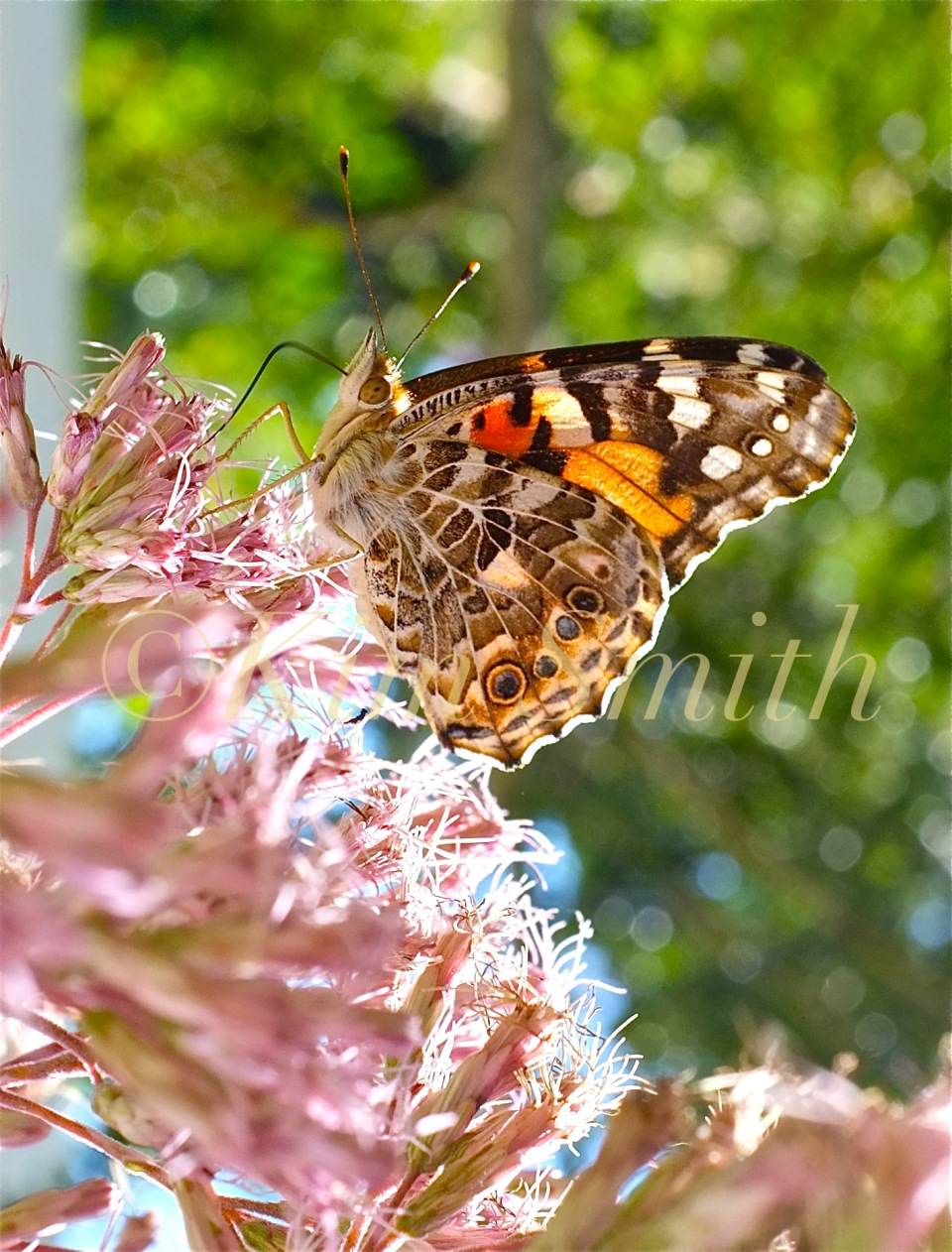 Painted Lady Eupatorium ©Kim Smith 2012