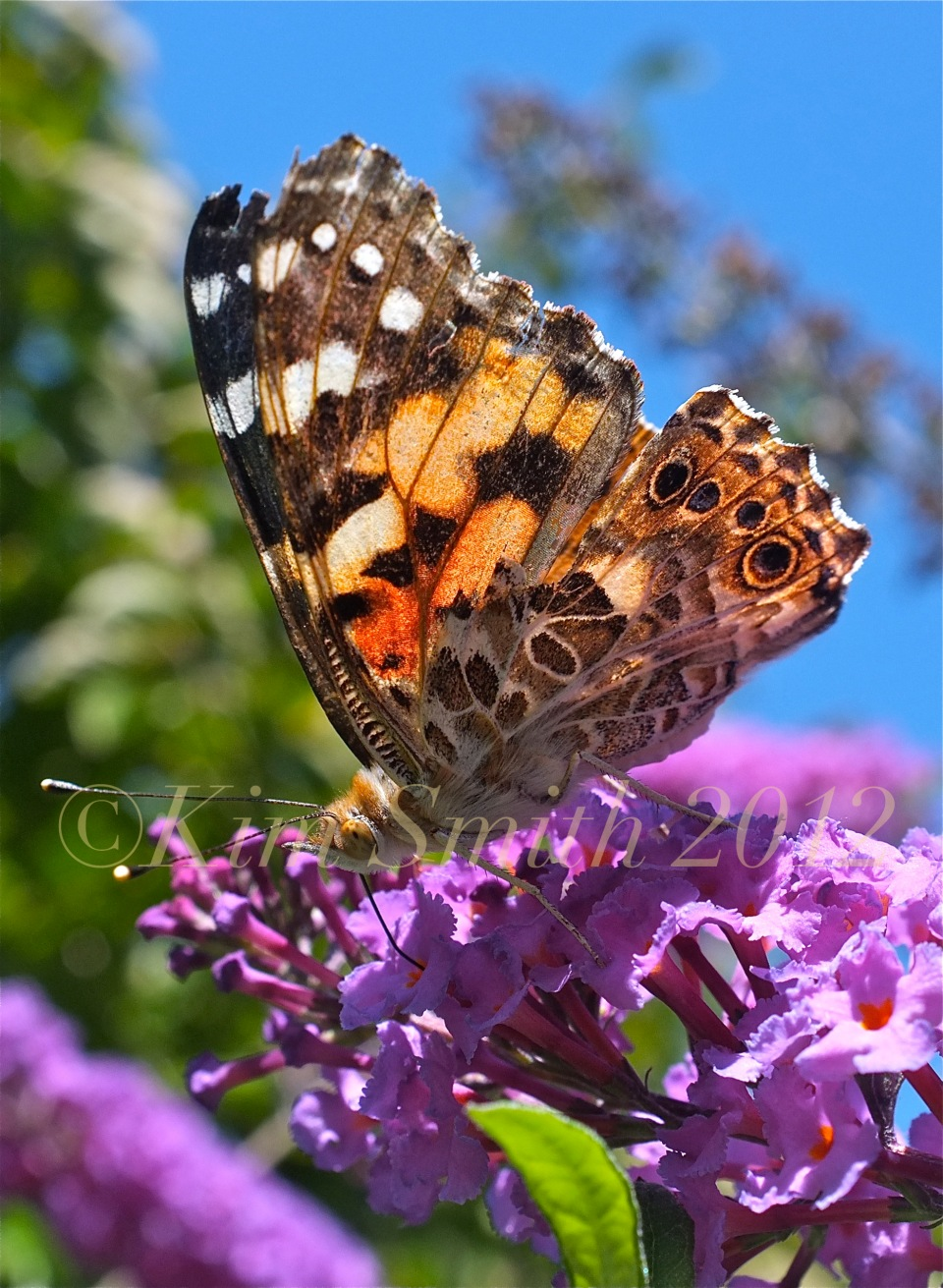 Painted Lady Vanessa cardui Buddleia -3 ©Kim Smith 2012.J