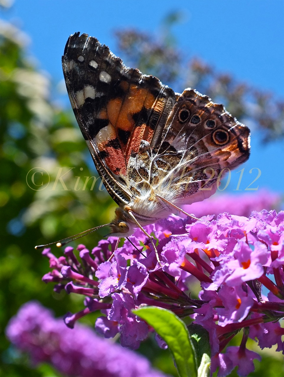 Painted Lady Vanessa cardui Buddleia ©Kim Smith 2012