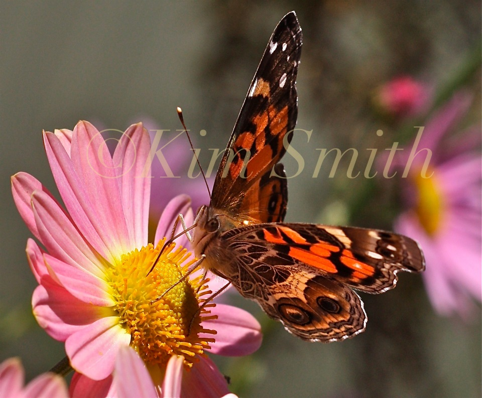 Painted Lady Vanessa cardui Korean Daisy ©Kim Smith 2009