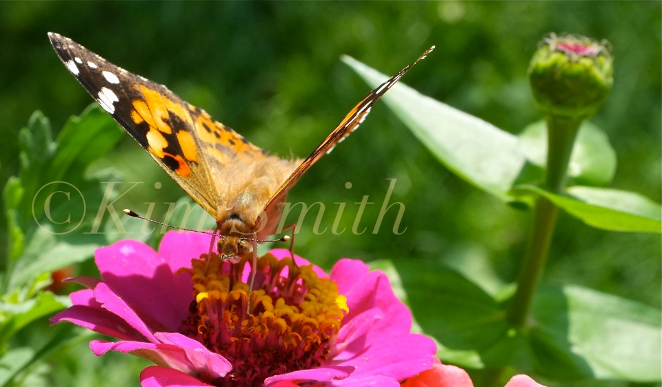 Painted Lady Vanessa cardui Zinnia elegans -2 ©Kim Smith 2012..PG