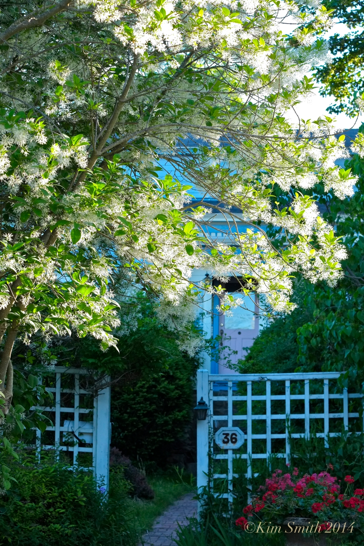 Fringetree Chionanthus virginicus Rocky Neck Gloucester MA ©Kim Smith 2014