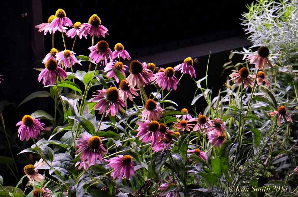 Coneflowers HighLine night ©Kim Smith 2014