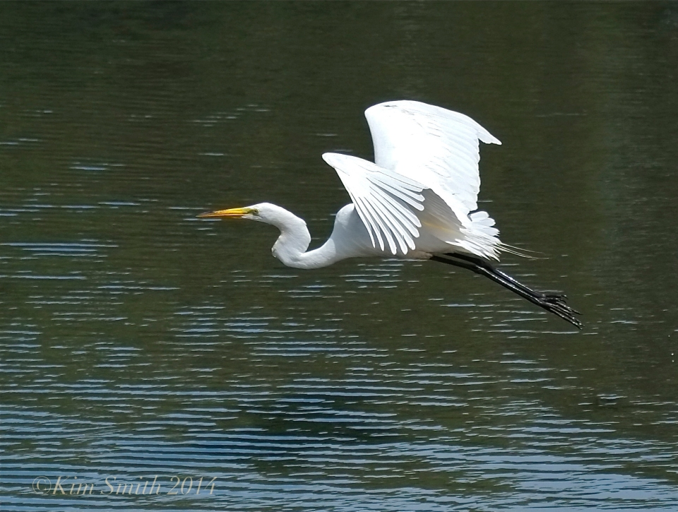 Great egret Gloucester ©Kim Smith 2014
