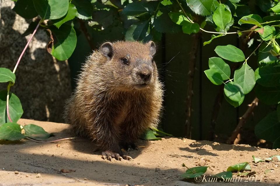 Groundhog woodchuck whistle-pig ©Kim Smith2014