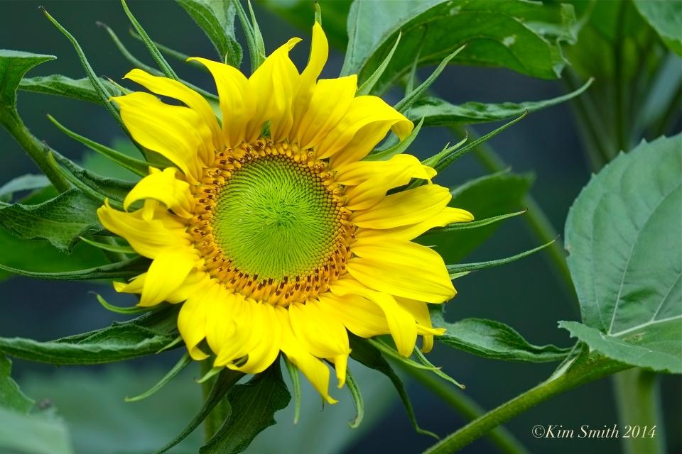 Pathways for Children Butterfly Garden Sunflower ©Kim Smith 2014.