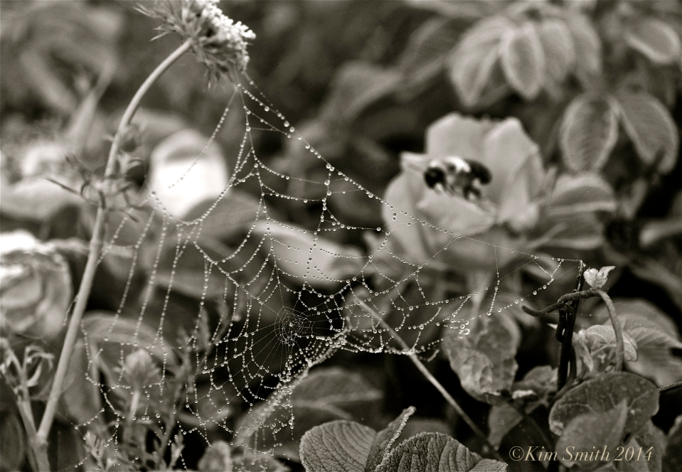 Spider's Web Niles pond -2 ©Kim Smith 2014