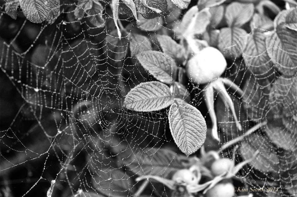 Spider's Web Niles pond -5 ©Kim Smith 2014