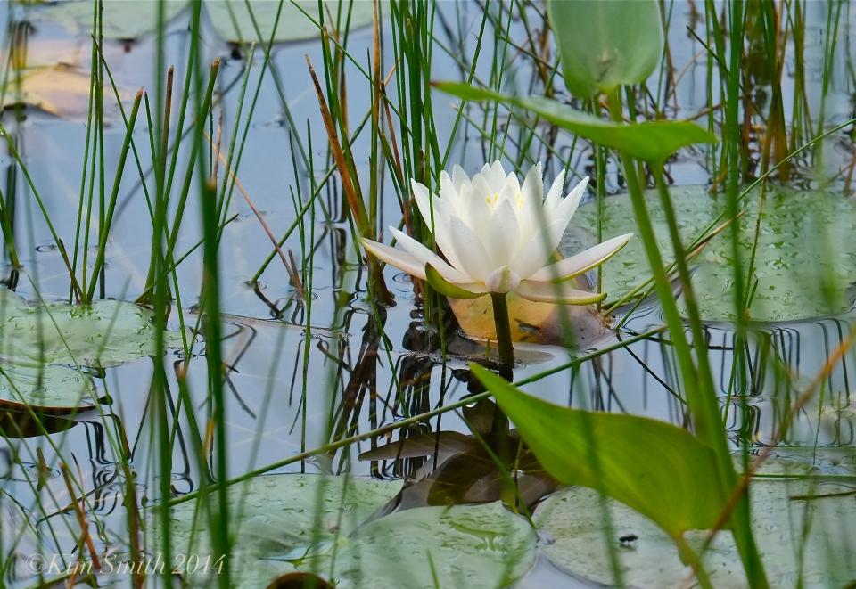 Water Lily Niles pond -2 ©Kim Smith 2014