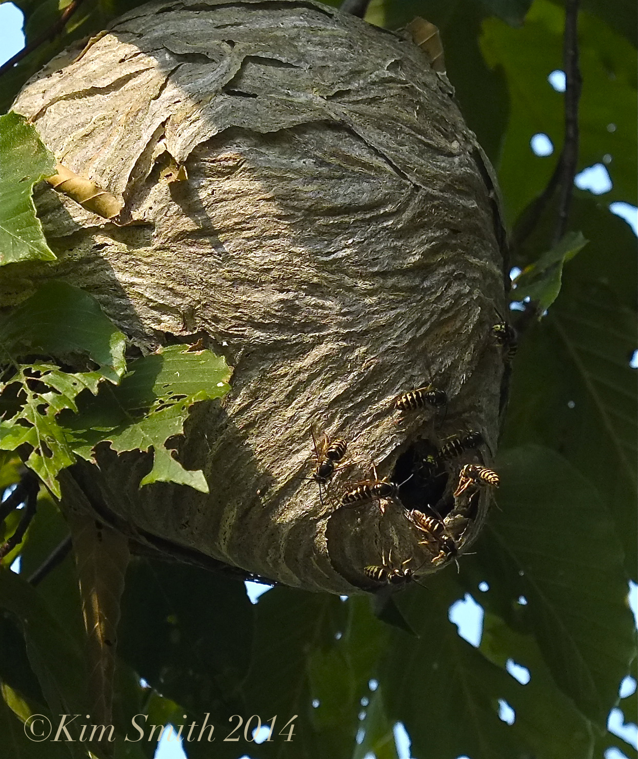Aerial Yellowjacket nest | Kim Smith Designs