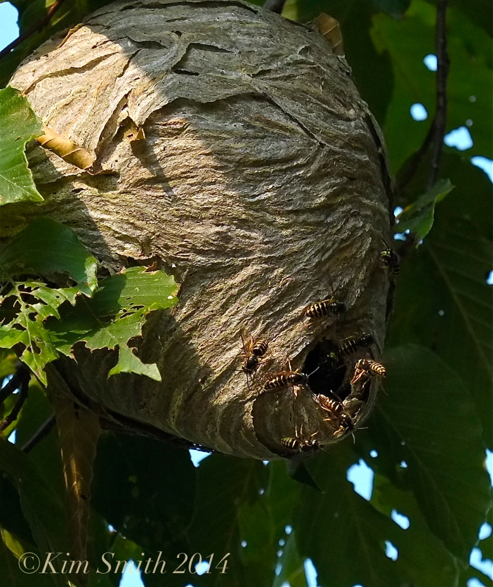 Aerial Yellowjacket nest ©Kim Smith 2014