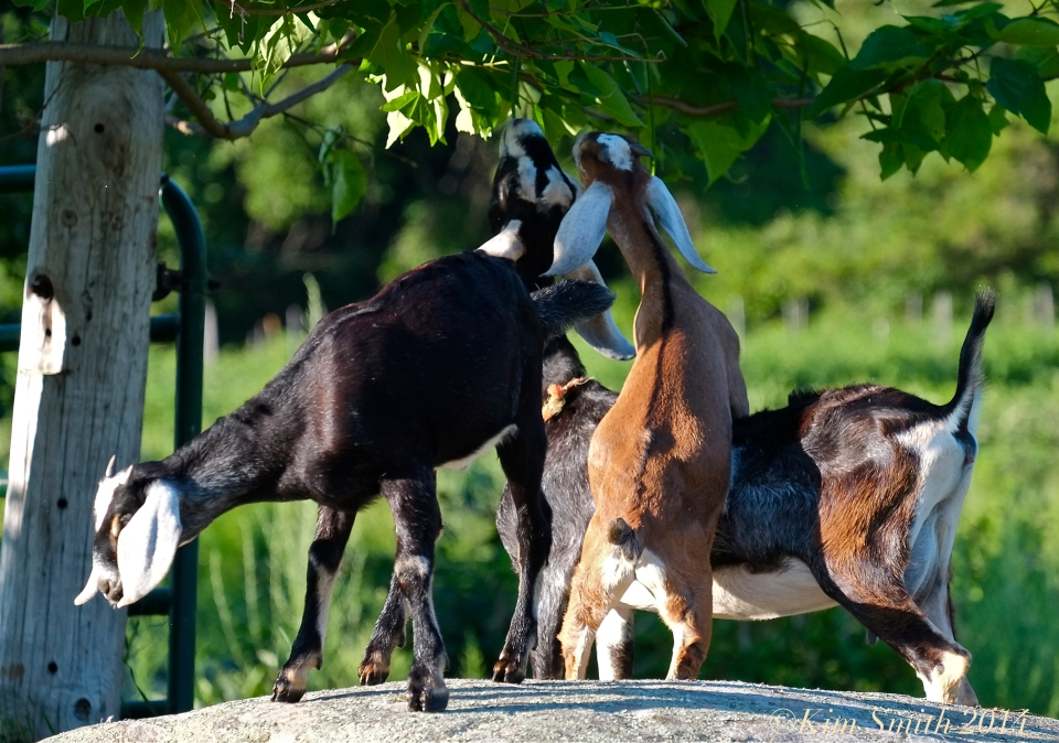 Apple Street Farm  Nubian Goats ©Kim Smith 2014