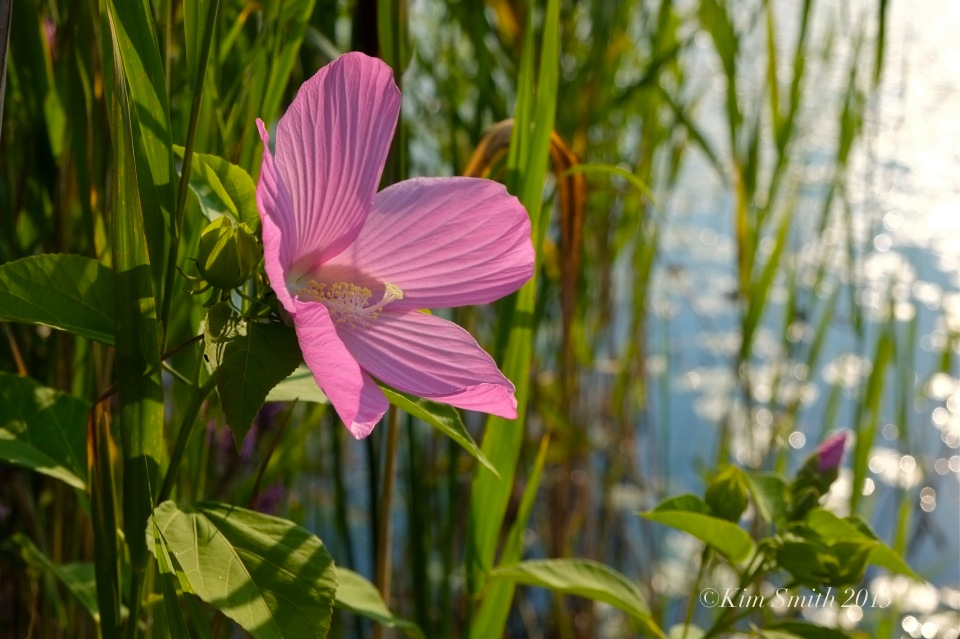 Rose Mallow Marsh Mallow ©Kim Smith 2013