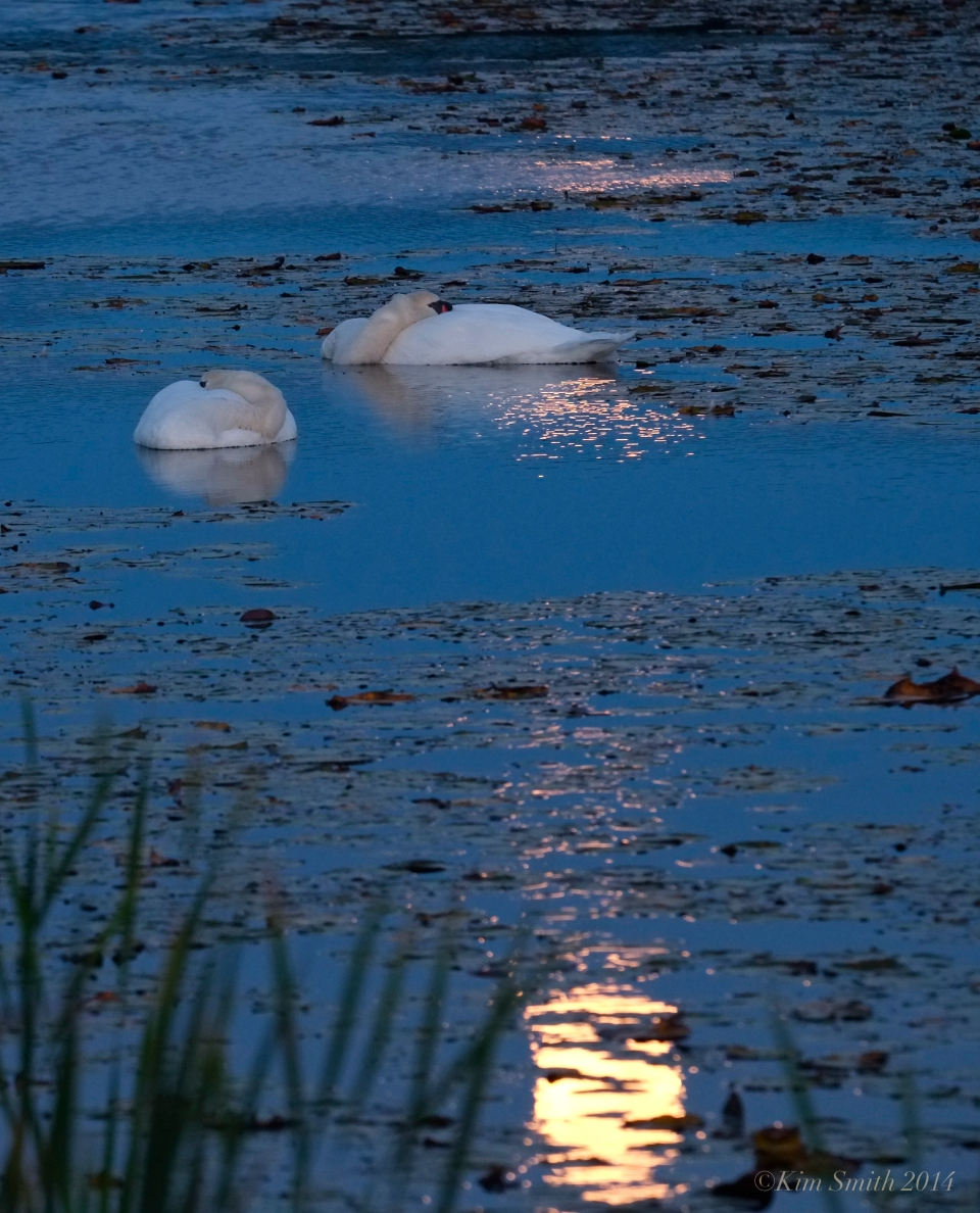 Sleeping Swans in the Harvest Moon Light ©Kim Smith 2014